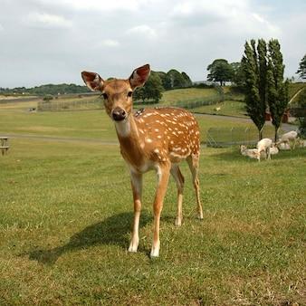 Dzikie sarny fawn jeleni sika ssak hirsch młody