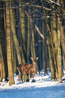 Dzikie sarny w zimowym lesie na wolności