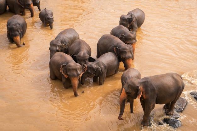 Dzikie słonie myją się w pomarańczowej wodzie rzecznej. zwierzęta na wolności.