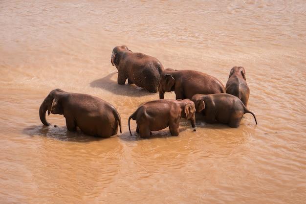 Dzikie słonie myją się w pomarańczowej wodzie rzecznej. zwierzęta w wi