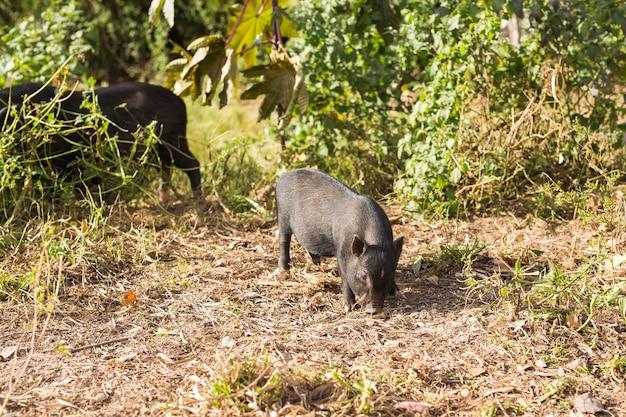 Dzikie świnie. dziki czarny dzik lub świnia chodzenie na łące.