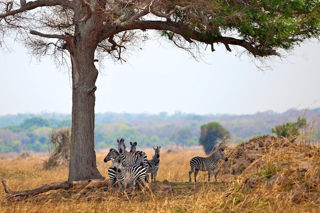 Dzikie zebry stojące razem