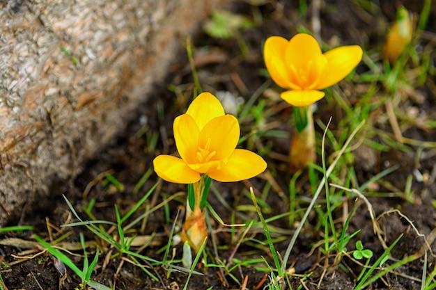Dzikie żółte krokusy kwitnące w swoim naturalnym środowisku w lesie