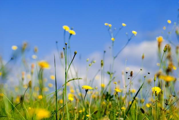 Dzikie żółte kwiaty i błękitne niebo z niskiego punktu widzenia, płytkiej głębi pola