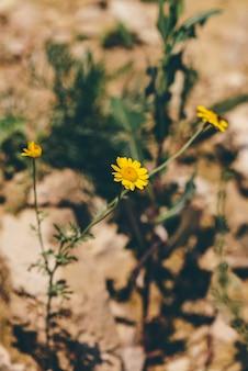 Dzikie żółte kwiaty stokrotki na klifie