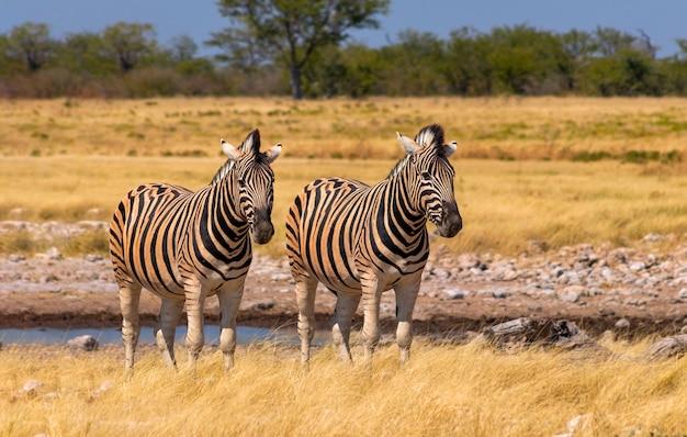 Dzikie zwierzęta afrykańskie. afrykańskie zebry górskie stojących na użytkach zielonych. park narodowy etoszy. namibia