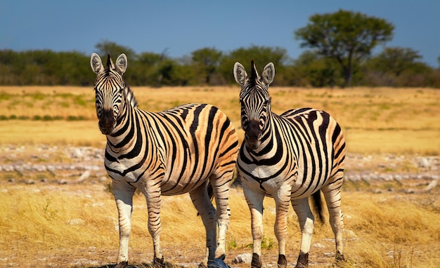 Dzikie zwierzęta afrykańskie. dwie afrykańskie zebry górskie stojące na użytkach zielonych. park narodowy etosha. namibia