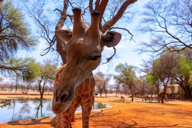 Dzikie zwierzęta afrykańskie. zbliżenie żyrafa namibii. najwyższe żyjące zwierzę lądowe i największy przeżuwacz.