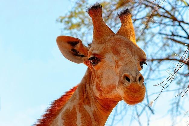 Dzikie zwierzęta afrykańskie. zbliżenie żyrafa namibijska na naturalnym tle nieba
