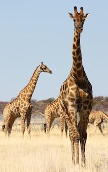 Dzikie życie namibii, park etosha, pora sucha