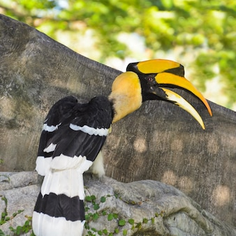Dzioborożec wielki lub buceros bicornis ochrona dużych ptaków w tajlandii.