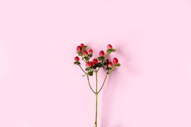 Dziurawiec, dziurawiec czerwony, owoce czerwone na gałęzi na różowym tle