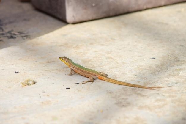 Dziwaczna maltańska jaszczurka ścienna