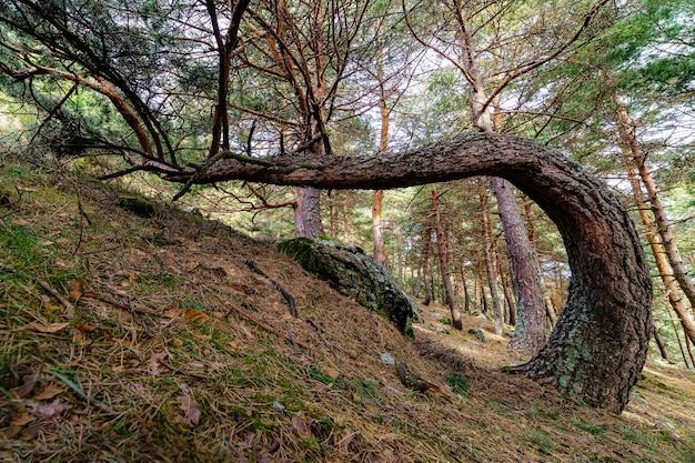 Dziwne drzewo w lesie, rosnące na ziemi, zaginające swój pień.