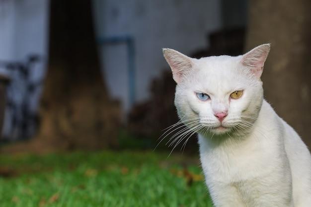 Dziwne oczy białego kota, żółte i niebieskie stojące na trawniku z zielonej trawy