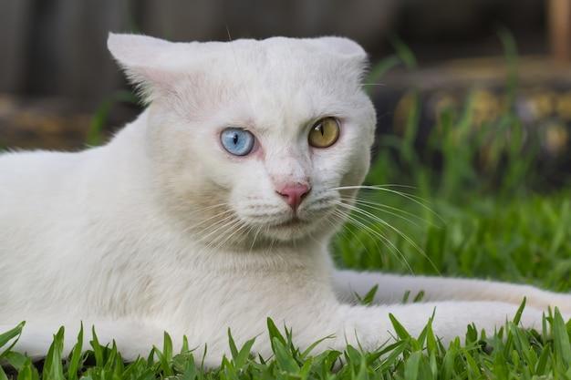 Dziwne oczy białego kota, żółto-niebieski przysiad na zielonym trawniku