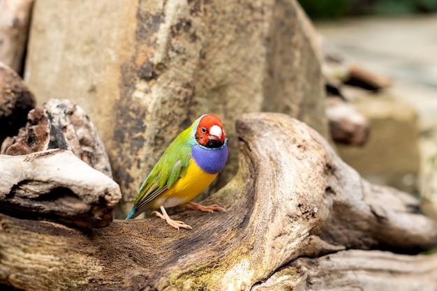 Dziwonia gouldian lub erythrura gouldiae mały kolorowy ptak siedzący na drzewie na zewnątrz
