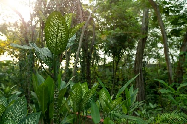 Dżungla gigant dieffenbachia słońce meksyk. zdjęcie wysokiej jakości