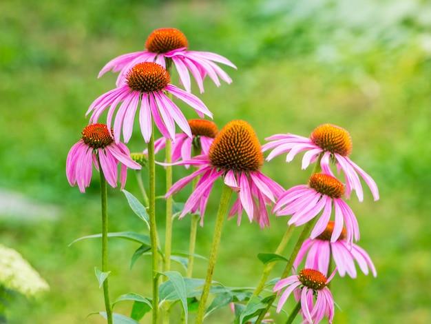 Echinacea kwitnie na jasnozielonym tle. echinacea to roślina lecznicza