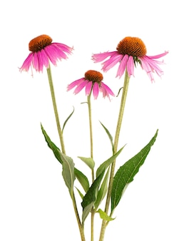 Echinacea purpurea kwiaty na białym tle. lecznicza roślina ziołowa.