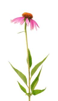 Echinacea purpurea kwiaty na białym tle roślina lecznicza ziołowa