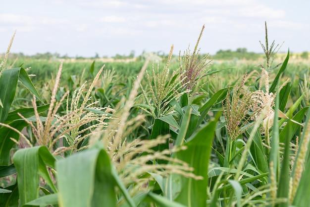 Eco pole kukurydzy w letni dzień