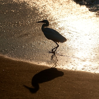 Egret na plaży, sayulita, nayarit, meksyk