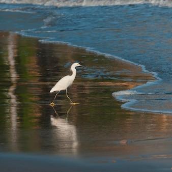 Egret żeruje na plaży, sayulita, nayarit, meksyk