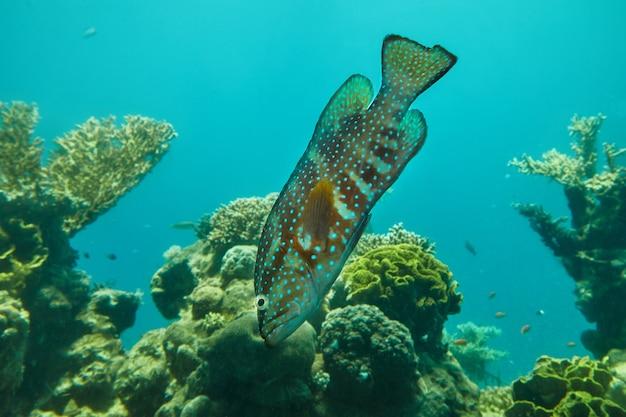 Egzotyczna ryba w akwarium nad morzem czerwonym, pływająca między koralowcami