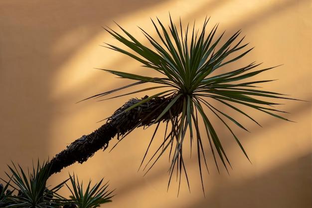 Egzotyczna tropikalna palma kokosowa pozostawia drzewa na ścianie cień