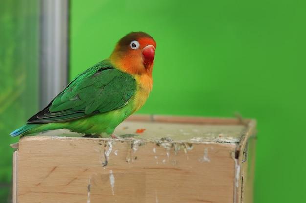 Egzotyczna wielobarwna papuga siedzi przy jego karmniku na zielonym tle