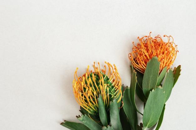 Egzotyczne kwiaty leucospermum z pomarańczowymi płatkami na jasnej powierzchni papieru