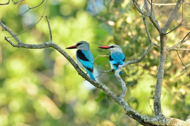 Egzotyczne niebieskie ptaki siedzące na gałęzi drzewa schwytanego w afrykańskiej dżungli