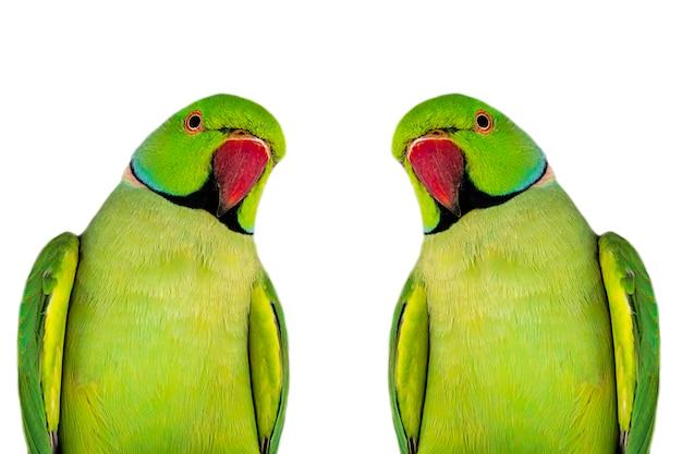 Egzotyczne papugi na białym tle.