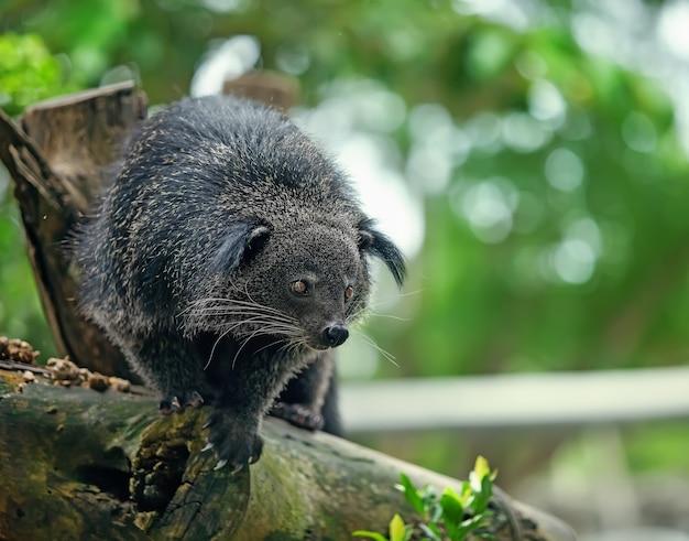Egzotyczne, rzadkie i zabawne zwierzę - binturong