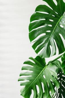 Egzotyczne tropikalne liście palmowe monstera w domu,