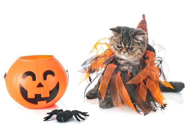 Egzotyczny kotek krótkowłosy i hallowen