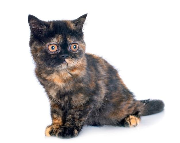 Egzotyczny kotek krótkowłosy