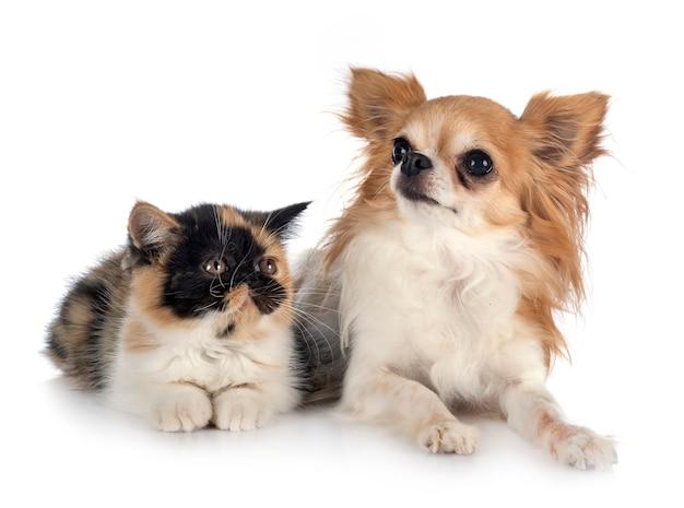 Egzotyczny krótkowłosy i chihuahua