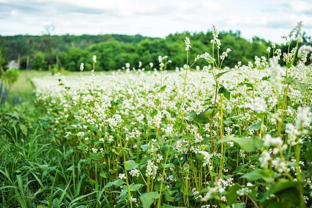 Ekologiczna nietraktowana kasza gryczana na polu wśród chwastów. rozpocznij pole gryki obok trawy.