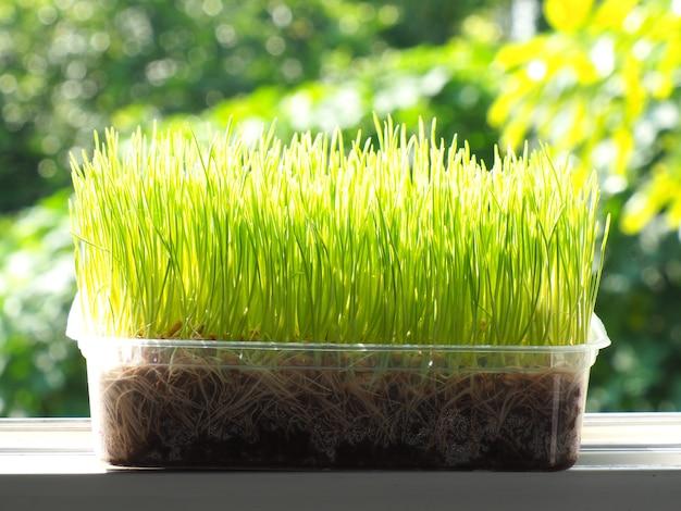 Ekologiczna trawa pszeniczna dla kota i kociaka