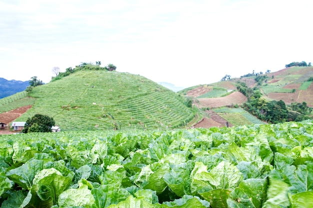 Ekologiczna uprawa kapusty świeżej zieleni na farmie warzyw w północnej tajlandii