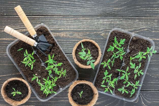 Ekologiczne doniczki z zielonymi młodymi sadzonkami pomidora na drewnianej ścianie, kielnia ogrodowa i grabie