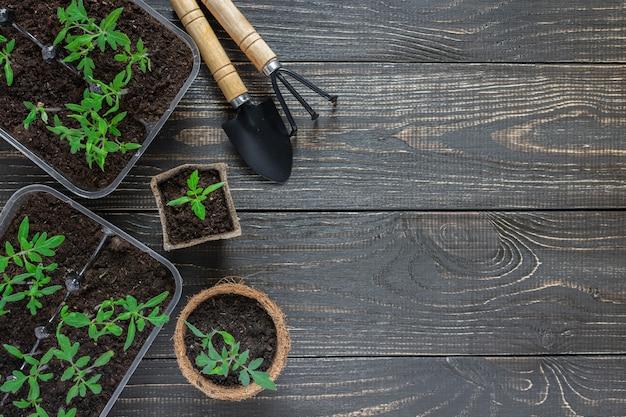 Ekologiczne doniczki z zielonymi młodymi sadzonkami pomidora na drewnianym tle, kielnia ogrodowa i grabie