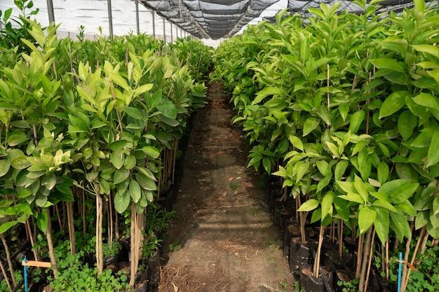 Ekologiczne drzewa cytrynowe wewnątrz szklarni
