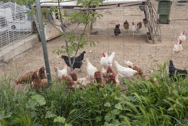 Ekologiczne kury z wolnego wybiegu dają zdrowe jaja