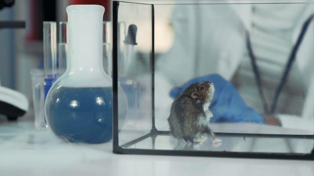 Eksperymentuj z myszką w nowoczesnym laboratorium chemicznym. naukowiec podający materiał organiczny za pomocą szczypiec chirurgicznych