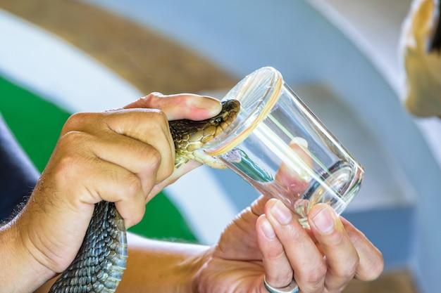Ekstrakcja jadu kobry, za pomocą uchwytów na szyi kobry przyłożyć krawędź szkła, aby ugryźć, aż zobaczy truciznę