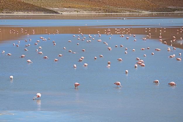 Ekstrawagancja różowych flamingów wypasanych w laguna hedionda, jeziorze solnym w boliwijskim altiplano