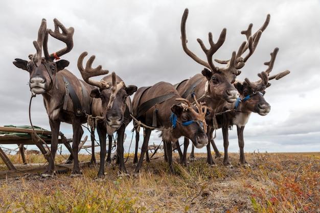 Ekstremalna północ, jamał, renifer w tundrze, uprząż jelenia z reniferem, pastwisko nenets